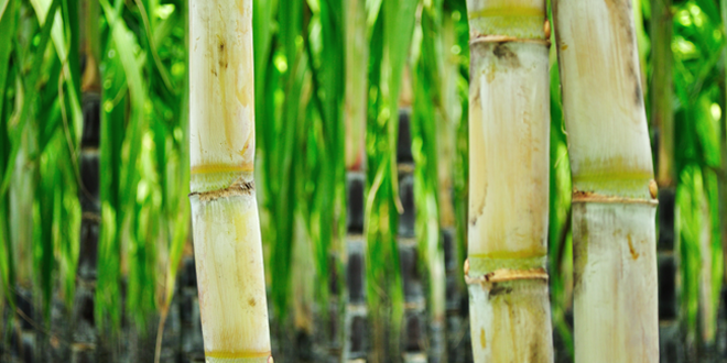 Zuckerherstellung